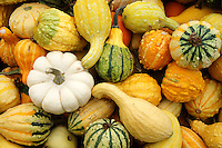 Autumn gourds at a farm in Ladner, British Columbia, Canada