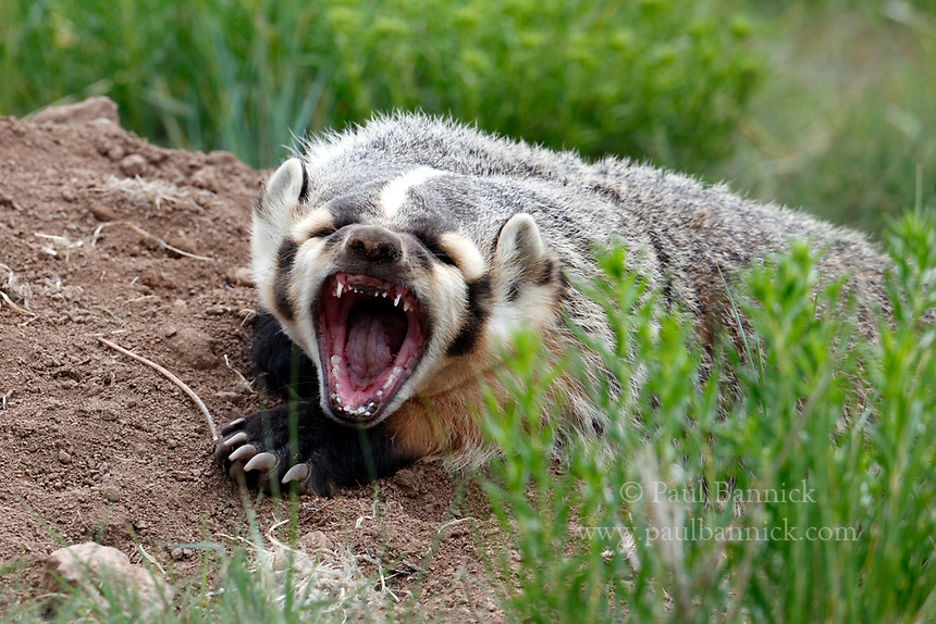 An American Badger, Taxidea taxus Jeffersoni, snarls at his brother outside of their den in Rocky Mountain National Park, Colorado.