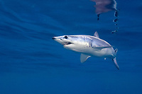 shortfin mako shark, Isurus oxyrinchus, Cape Point, Cape Town, South Africa, Atlantic Ocean