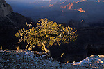 Singleleaf pinyon pine (Pinus monophylla) on the south rim of the Grand Canyon, Grand Canyon National Park, Arizona