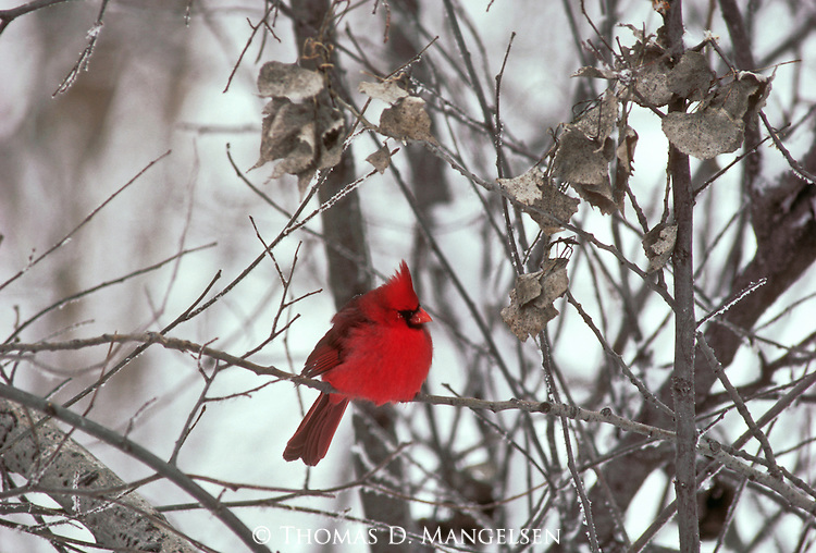 A male cardinal puffs up its feathers against the cold winter temperature.