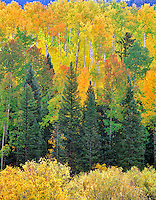 Mixed conifer and aspen forest in fall color. San Juan Mountains, Colorado