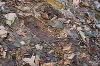 Hasensasse, Feldhase, Feld-Hase, Hase, Abdruck der Sasse auf Waldboden, Lepus europaeus, Brown hare, Lièvre brun