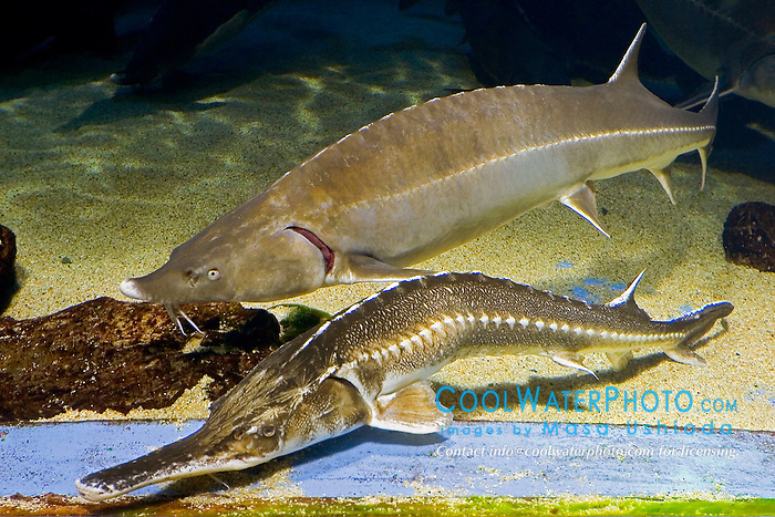 endangered sevruga or starry sturgeon, Acipenser stellatus, one of the three most important species for caviar, Caspian Sea, and beluga, Huso huso, the largest sturgeon and largest European freshwater fish grows up to 5 m in length, weighs up to 2 tons, and lives up to 120 years. Critially endangered as it has been fished for caviar for centuries (c).
