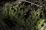 A black and white view of a tree trunk with the moss alone appears in green color. A fine art photo of moss covered tree in Roan Mountains