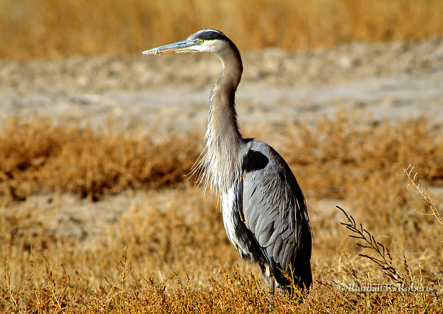 Great Blue Heron, Bosque del Apache National Wildlife Refuge, New Mexico
