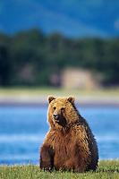 Grizzly bear (Ursus arctos) sitting by river, Alaska Peninsula.