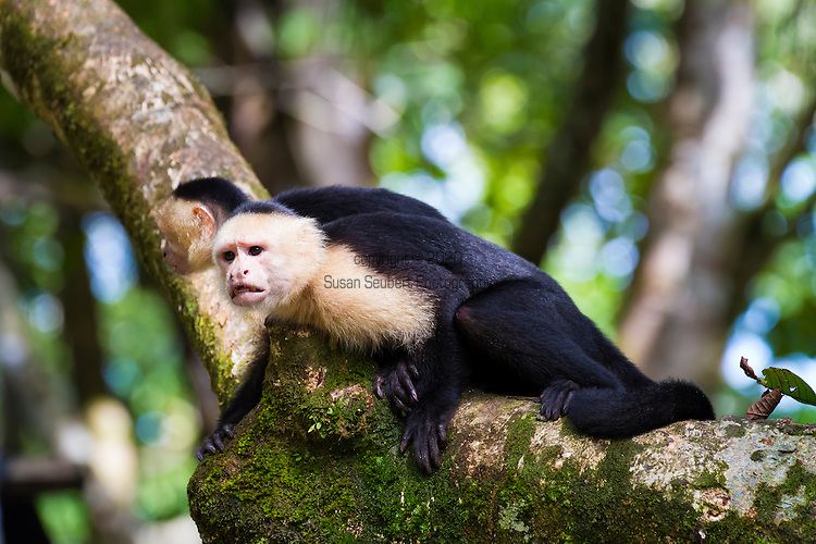 The Corcovado Nature Preserve on the Osa Peninsula of Costa Rica, Central America. Wild capuchin monkeys