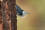 White-breasted Nuthatch (Sitta carolinensis), clinging head downward on the trunk  of Jeffrey Pine , Mono Lake Basin, California, USA