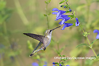 01162-15113 Ruby-throated Hummingbird (Archilochus colubris) at Blue Ensign Salvia (Salvia guaranitica ' Blue Ensign') in Marion County, IL