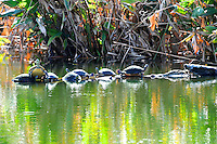Turtle Convention. Mid-afternoon finds several turtles competing for space on a partially submerged tree limb. Photographed at Wakodahatchee Wetlands, Delray Beach, Florida.