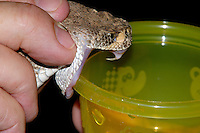 Venom Extraction from Crotalus atrox; Sonoran Desert, Arizona