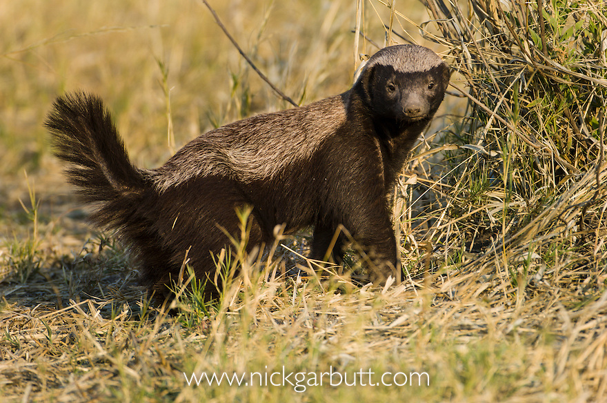 Adult Honey Badger or Ratel (Mellivora capensis) foraging. Selinda Spillway, Okavango Delta, Botswana.