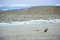 A lone male Greater Sage-Grouse (Centrocercus urophasianus) displaying on a lek before dawn. Freemont County, Wyoming. March.