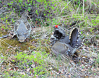 Male and female spruce grouse in June
