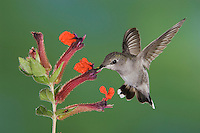 Anna's Hummingbird, Calypte anna, female in flight feeding on flower ,Tucson, Arizona, USA