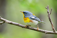 northern parula, Setophaga americana, male, perched on twig in spring in Nova Scotia, Canada