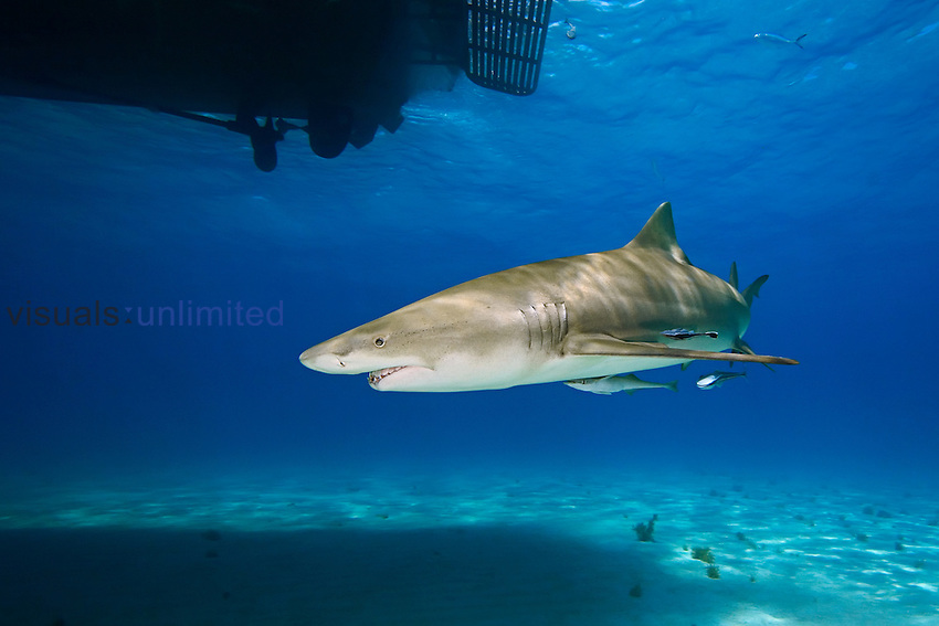 Lemon Shark, Negaprion brevirostris, with sharksuckers, Echeneis naucrates, West End, Grand Bahama, Atlantic Ocean.