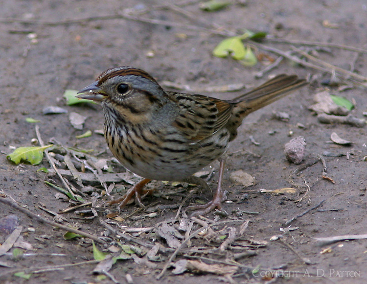 Adult Lincoln's sparrow eating seed