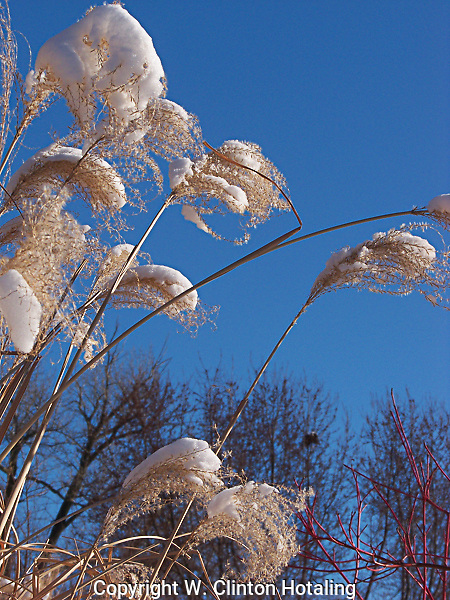 Winter grasses against a clear sky in Madison's Obrich Gardens.