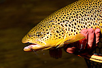 Brown trout and wet fly