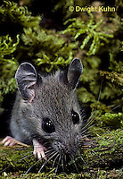 MU29-054z   White-footed Mouse - Oerimyscus maniculatus