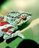 MADAGASCAR, chameleon, close-up, Mandraka Reptile Park, Tana