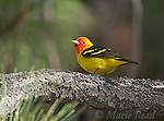Western Tanager (Piranga ludoviciana), male, Mono Basin, California, USA