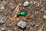 Six-spotted Tiger Beetle, Adirondacks.