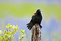 Red-winged Blackbird, Oregon