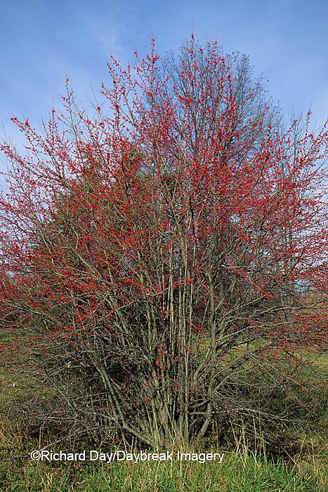 63808-00820 Washington Hawthorn (Crataegus phaenopyrum) with berries in fall   IL