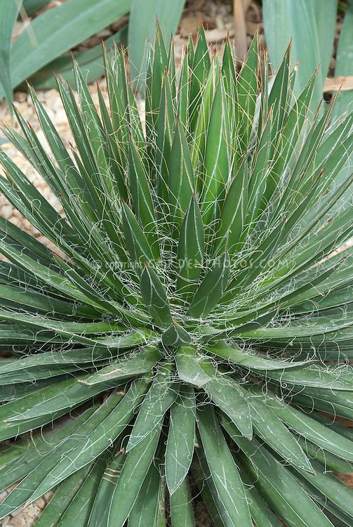 Agave filifera AGM Thread-leaf Agave