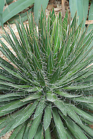 Agave filifera AGM Thread-leaf Agave