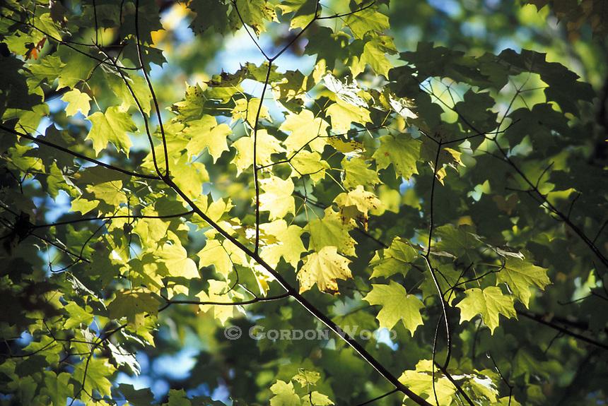 Maple Leaves in Sunshine Backlight