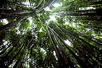 Bamboo Forest off the Road to Hana on Maui