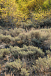 Sagebrush and quaking aspen (Populus tremuloides), fall, Toiyabe National Forest, California