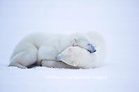 01874-13420 Polar Bears (Ursus maritimus) sparring, Churchill Wildlife Management Area, Churchill, MB