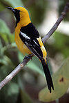 Hooded oriole, Icterus cucullatus, Arizona