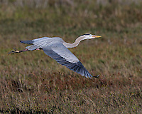 Great Blue Heron, Intercostal Canal near Aransas NWR