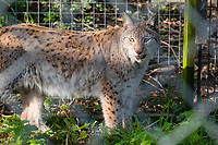 Pictured: One of the other lynx at the Borth Wild Animal Kingdom (formerly Borth Animalarium) , Ceredigion Wales UK. Monday 30 October 2017<br /> Re: The search continues for Lillith, a juvenile European Lynx, (latin name Lynx Lynx) which escaped from its enclosure at Both Wild Animal Kingdom.  A police helicopter with thermal imaging cameras spotted the animal  in undergrowth near the zoo in the  3early evening yesterday, raising hopes that the creature has gone to ground close to its home