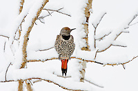 Female Red-shafted Northern Flicker (Colaptes auratus) sitting on snow cover aspen tree branch.  Late winter, Northern Rockies.
