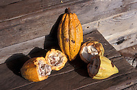 Organically grown cacao pods at a plantation in Bocas del Toro province, Panama