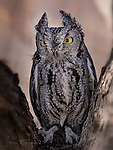 Western Screech Owl, Chino Valley, Arizona ©2018 James D Peterson.  If you were a mouse, seeing this bird would make you very nervous.  It is native to much of the western US and hunts mostly at night.  This individual lives at Arizona's Raptor Experience, a private shelter that cares for birds who are unable to live in the wild because they have been injured or have been raised by humans (often after being illegally stolen from nests).