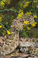 467010011 a wild western diamondback rattlesnake crotalus atrox coiled in defensive threat position among flowering native plants while sensing environment with tongue in the rio grande valley texas