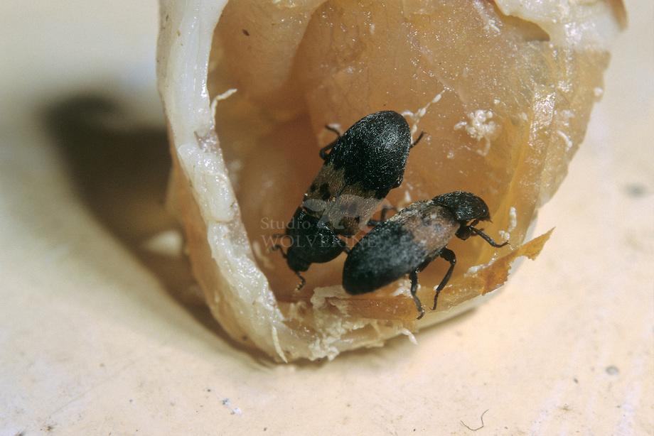 Gewone spekkever (Dermestes lardarius)