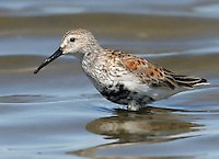Dunlin (Calidris alpina). Ravenswood unit of the Don Edwards National Wildlife Refuge. Menlo Park, San Mateo Co.,Calif.