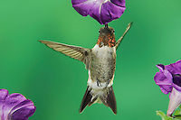 Ruby-throated Hummingbird, Archilochus colubris, male in flight feeding on petunia, New Braunfels, Texas, USA, September 2005
