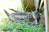 mallard duck nesting next to the finish line at Delaware Park on 7/6/13