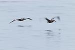 Brown Pelican (Pelecanus occidentalis) pair flying over water, Santa Cruz, Monterey Bay, California