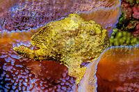 longlure frogfish or anglerfish, Antennarius multiocellatus, on azure vase sponge, Callyspongia plicifera, Commonwealth of Dominica (Caribbean Sea) , Atlantic